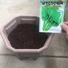 冬のベランダ菜園~小松菜投入と万能ねぎ発芽