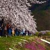河口湖の桜を眺めて贅沢ないっぷく 「お店の名前はCafe Mimiです」