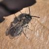 春の弥生のヒメハナバチ