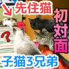 先住猫と子猫3兄弟を初めて会わせてみた!母親と勘違いした子猫!【3姉妹の次女と初対面】