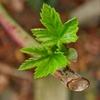 カジイチゴが萌えだして春になった実感がするジャム待ち人。植物テーマブログの悩み