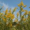 【ステロイドも排出】雑草セイタカアワダチソウでアトピーは治る!
