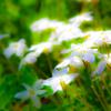 桜の花の足元に 揺れる青草待つは夏風