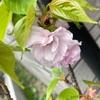 オオシマザクラ開花🌸&まだまだ咲いてる🌸