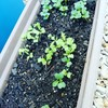 土耕栽培の方が育つのか❗❓