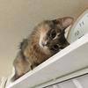 猫のアトピー性皮膚炎