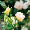 写真の練習 バラを逆光で撮る