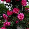 花フェスタ記念公園の元気をもらえたバラまつり