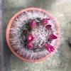 マミラリア白翁玉
