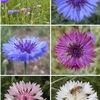 「ヤグルマギクはドイツの国花」とするサイトがネット上に数多く見つかります.たしかに「19世紀のドイツ皇帝ウィルヘルム1世によってドイツの国花に定められ,第一次世界大戦時まで使われた」ことは確かですが,あるドイツ人曰く「ヤグルマギクが国花というのも聞いたことがありません」.ヤグルマギクはドイツ連邦共和国の国花ではないようです.一時期ナチスが秘密のシンボルとしてヤグルマギクを使用していたとのこと.現在のドイツが認めるはずありませんね.