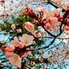 やっと桜が咲きまして