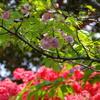 「菊桜」と「のとキリシマツツジ」