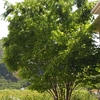 シンボルツリー 落葉樹は落ち葉の後始末も考えて🍂