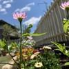 ミヤコワスレ、同じ茎から違う色?花色がピンクから白に変わった。
