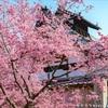 (個人的に)大好きな京都の桜7選