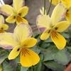 黄色いビオラの花と葉が変色!少し紫がかっています+ワンコのお風呂