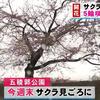 ついに北海道でも25日に桜の開花が!!満開は29日予想なので、GWはお花見に出かけよう♪