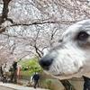 ❝満開の桜🌸❞ 2021年3月25日