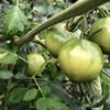 トマトとトウモロコシ