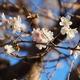 冬桜(前編)