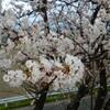 岐阜県海津市の輪中の堤防にあるサクラ並木は「花見の穴場」なんじゃないか