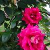 薔薇🌹2番花が咲いています