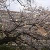 見沼用水沿いの桜もだいぶ咲きました