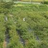 ブルーベリーの摘みとり研修と農園の様子