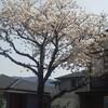 桜さくらサクラ(笑)