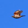青空に飛ぶツグミ