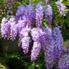 飲み明けダルダル状態だから野田で藤の花を見よう。(土曜日、晴れ)