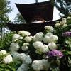 久米寺のアジサイ(6月中旬~7月上旬)