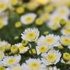 ✿湯島天神 菊花展をふらっと撮影❀