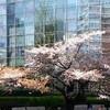 東京散歩 六本木で「桜」と「映画」の子供の春休み