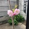 ★★サクラ開花★★