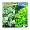 (水草)グリーンロタラ(水上葉)(無農薬)(20本) 北海道航空便要保温