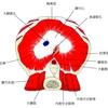 大動脈裂孔・大静脈孔・食道裂孔を通過する臓器の語呂合わせ