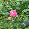 2013/05/10 春風も雨の中、咲き始めました!!