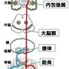 【基礎から学ぶ】錐体路【解剖生理学】