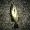 4/25凪の釣りは難しい…バス×1(ポンヨウF氏)