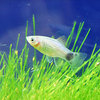 (熱帯魚) ネオンブルーミッキーマウスプラティ 【5匹セット】