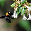 誤解のクマバチ