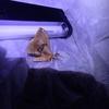 エゾヨツメ 孵化