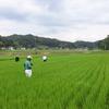採種稲事前管理