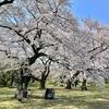 春の「小石川植物園」、桜が満開。