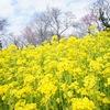 【神奈川】菜の花に誘われて 大楠山で低山ハイク(公共交通機関利用)