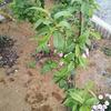 庭の畑拡大、トマトやニガウリの苗を