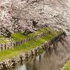 小江戸川越散策「新河岸川の桜並木」(2017.04.05)