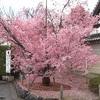 見頃を迎えた長徳寺のオカメ桜2020【満開】