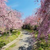 たけべの森【岡山市北区建部町】藤右衛門の小径(桜のトンネル)はとても幻想的でした。